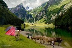 Mehr Schweiz geht nicht....Seealpsee at Alpstein, Switzerland, (Rita Eberle-Wessner) Tags: schweiz switzerland appenzell appenzellinnerrhoden alpstein seealpsee see sea lake alps alpen peak gipfel berge mountains kuh kühe grass gras ufer berg tiere animals cow cows felsen rocks tier landschaft landscape wasser water wald forest trees bäume zelte tents alpenkuh braunvieh säntis säntisgipfel