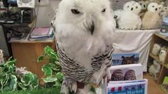 Elsa,the snowy owl (billnbenj) Tags: barrow cumbria owl snowyowl raptor birdofprey video
