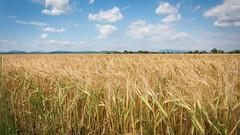 Encore quelques jours de soleil pour que ce blé soit à maturité (pascal548) Tags: entrevenes alpesdehauteprovence france