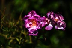 DSC_0442 (PeaTJay) Tags: nikond750 reading lowerearley berkshire macro micro closeups gardens outdoors nature flora fauna plants flowers rose roses rosebuds