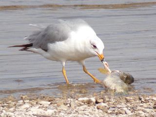 Ring-billed gull (Larus delawarensis) with dead northern pike