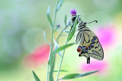 Magic of nature (sylviafurrer) Tags: swallowtail schwalbenschwanz schmetterling butterfly insect insekt macro bokeh beautifulrealm ngc