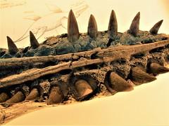 be afraid! (jenbrasnett) Tags: 7dwfsundayfauna fossil teeth lowerjaw pliosaur makemesmile