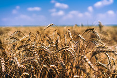 34°C (cristian_jordache) Tags: barley summer hot sunny harvest time rural dof dept field closeup romania baragan sony ilce7m2 vacation trip fields crops cereals heat agriculture