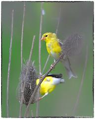 Goldfinch(s) (RKop) Tags: d500 nikkor600f4evr 14xtciii raphaelkopanphotography armlederpark cincinnati ohio wildlife