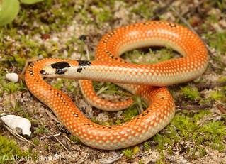 Black-Striped Burrowing Snake (Neelaps calonotus)