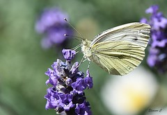 Small White (Pieris rapae) (Eleanor (No multiple invites please)) Tags: smallwhitebutterfly pierisrapae lavender garden stanmore uk nikond7200 105mmmacrolens june2018