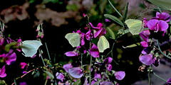Gruppenfoto (dl1ydn) Tags: dl1ydn group falter zitronenfalter garden nature sommer gruppenfoto schmetterlinge altglas voigtländer colorskopar f3580mm butterflies