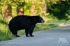 Black Bear (fascinationwildlife) Tags: animal mammal wild wildlife nature natur bear black schwarzbär bär bc predator male big road kanada canada forest