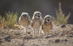 A trio of baby burrowing owl cuteness. (Shane Keena) Tags: burrowingowl owl naturalworld nature nationalgeographic birdphotography bird birdsofprey audobon saltonsea california californiawildlife wildlife wildlifephotography animalbehavior animalportrait babybird