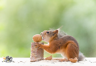 red squirrel takes a bite in an walnut