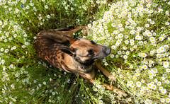 DSC01441.jpg (kutusow) Tags: wiese summer camomile kamille dog feld blumen hund sommer field