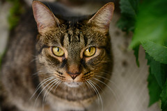 Mouse in the Weeds (flashfix) Tags: july132018 2018inphotos ottawa ontario canada nikond7100 40mm flashfix flashfixphotography portrait feline tabby cat mouse leaves plant bokeh outside kitty eyes whiskers nose