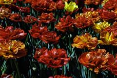 Tulips 2018 (hz536n/George Thomas) Tags: 2018 canon canon5d ef24105mmf4lisusm flora holland michigan spring copyright cs6 flower nik tulip tulipa pixelbender adobelabs