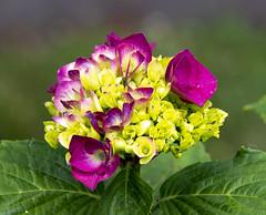2018-06-16 Hydrangea (Mary Wardell) Tags: hydrangea blossoms flower pink canon80d