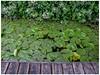 Blackberries and Waterlilies (prima seadiva) Tags: blackberry docks unionbaynaturalarea waterlily weeds