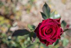 Red Rose (Sharon Wills) Tags: red rose adelaide botanic garden flower single