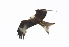 DSC_0589 (PeaTJay) Tags: nikond300s reading lowerearley berkshire outdoors nature birds birdsofprey redkite