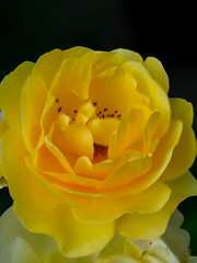 A pale yellow rose (Raoul Pop) Tags: garden morning spring color flowers plants home yellow focusstack