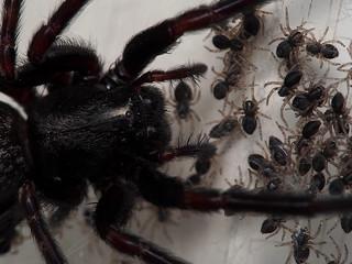 Black House Spider Plus Babies!