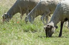 alguien se ha comido mi amapola!!  (_DSC5315) (Rodo López. Fotero... instantes en un clic) Tags: amapolas animales ovejas rojo elbierzo españa explore excapture elcampo pastar nikon naturaleza nature naturalezacautivadora nostalgia naturebynikon spain
