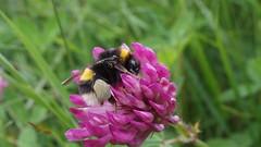 Buff-tailed Bumblebee (Nick:Wood) Tags: nature wildlife bumblebee insect bufftailedbumblebee bombusterrestris redclover trifoliumpratense grass prioryfields naturereserve warwickshirewildlifetrust solihull birmingham