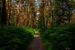 Forêt de Compiègne - Juin 2018 (lilou.gandoss) Tags: nature calme peace wild trees tree arbres arbre green vert photo canon forêt compiegne oise picardie hautdefrance france couleur lightroom peacefull place