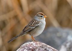White-Crowned Sparrow (Ed Sivon) Tags: america canon nature lasvegas wildlife wild western southwest desert clarkcounty flickr vegas bird henderson nevada preserve