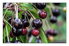 Reiche Ernte (günter mengedoth) Tags: samyang optics 100mm f28 ed umc macro samyangoptics100mmf28edumcmacro kirschen laub blatt obst frucht pentax pentaxk1 k1 pk kr