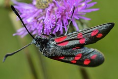 _DSC0291 (Me now0) Tags: park europe summer nikond5300 micronikkor40mm closeup macro юженпарк софиябългарияевропа sixspotburnet butterfly пеперуда zygaenafilipendulae