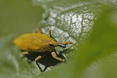 Rüsselkäfer (petra.wruck) Tags: käfer bag beetle insekten insekt insects insect tiere animals macro makro