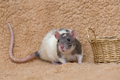 Rat besides basket (Tambako the Jaguar) Tags: rat pet rodent female cute wite gray portrait posing photoshooting close macro basket props zürich switzerland nikon d5