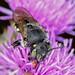 Anthidium punctatum 180625 072.jpg