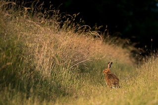 Hare today....-.jpg