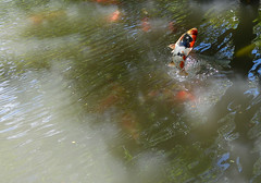 For a breath of fresh air (varnaboy) Tags: minato tokyo japan japanese garden happoengarden pond water fishes jumping