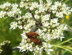 Red Soldier Beetles Rhagonycha fulva  on Hogweed (ERIK THE CAT Struggling to keep up) Tags: littleheath staffordshire toft beetles