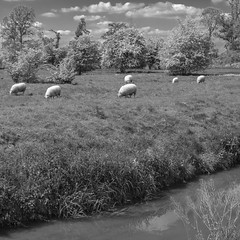 Pastoral Peace (enneafive) Tags: sheep grazing meadow pastoral peace fujifilm xt2 herk wellen monochrome bucolic