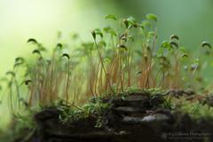 Small World (right2roam) Tags: smallworld wonder magic macro closeup moss nebraska omaha nealewoods right2roam spring forestfloor