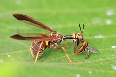 wasp mantidfly ((Climaciella brunnea) eating longlegged fly at Ludwig Prairie Preserve IA 653A7796 (lreis_naturalist) Tags: wasp mantidfly climaciella brunnea eating longlegged fly ludwig prairie preserve winneshiek county iowa larry reis