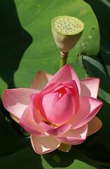 Lotosblume, indische / Indian Lotus (Nelumbo nucifera) (HEN-Magonza) Tags: botanischergartenmainz mainzbotanicalgardens rheinlandpfalz rhinelandpalatinate deutschland germany nelumbonucifera indischelotosblume indianlotusflower