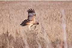 Spotted Harrier (James_Preece) Tags: spottedharrier accipitridae m43 circusassimilis lumixpanasonicdcgh5 leicadgvarioelmar100400mmf463asphpoweroislens