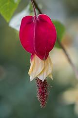 Chinese Lantern Plant (billcoo) Tags: abutilon megapotamicum hibiscus garden xf80mm fujifilm scrub