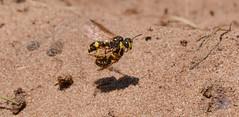 DSC_9370-2 (gupta.steve) Tags: knotenwespe insekt wespe makro nikon tamron natur wildlife