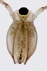 Ceriodaphnia (mr.sansibar) Tags: freshwater pond aquatic olympusbh2 planapo focusstacking photomicrography microscopy heliconfocus waterflea cladocera ceriodaphnia olympus bh2 arthropoda crustacea