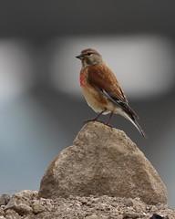 Male Common Linnet (themadbirdlady) Tags: passeriformes fringillidae cardueliscannabina commonlinnet clackmannanshirebridge higginsneukns9187
