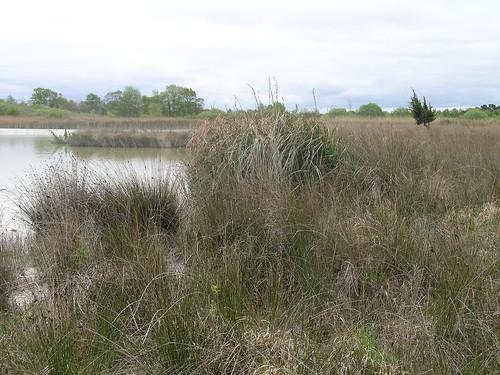 Fen vegetation with black bog rush and taller saw sedge