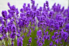 Kent Summer Lavender.. (Adam Swaine) Tags: lavender flora flowers gardens village villages shoreham kent kentishvillages purplegreen canon naturelovers nature summer beautiful england english britain british uk ukcounties macro