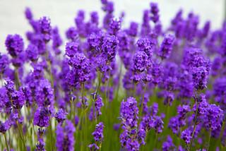 Kent Summer Lavender..