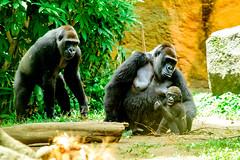 Western Gorilla Family of Ueno Zoo : ニシゴリラ(上野動物園) (Dakiny) Tags: 2018 summer july japan tokyo taito ueno outdoor nature park uenopark city street zoo uenozoo creature animal mammal monkey ape gorilla westerngorilla lowlandgorilla westernlowlandgorilla nikon d750 sigma apo 70200mm f28 ex hsm apo70200mmf28dexhsm sigmaapo70200mmf28dexhsm nikonclubit