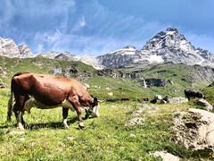 Mangiare a Cervinia (LSkin) Tags: eat mangiare cervinia cervino mucca